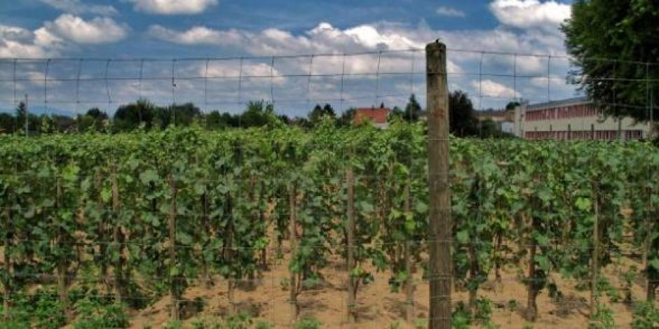 Viticulture : L'Europe doit maintenir ses droits de plantation